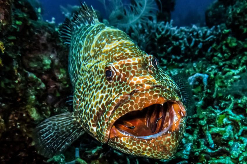 Roatan, Honduras Scuba Diving Grouper Fish Underwater Photography Ocean Bubbles