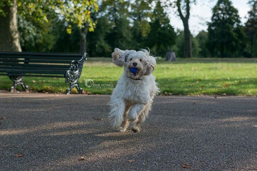 Run like you stole it! I Love Dogs Nikon Happy Wolfe Does UK Pet Photography  Pets Corner London Labradoodle