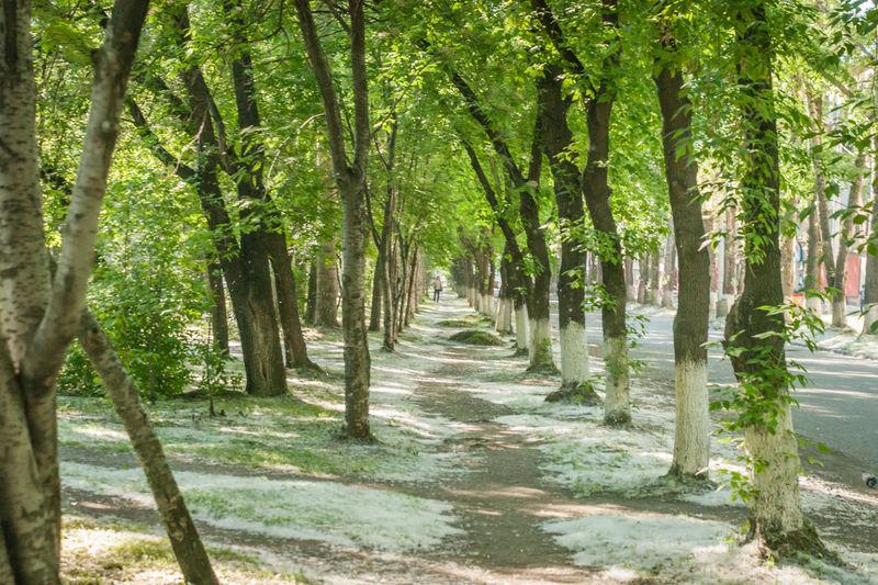 Trees Poplars Fluf Path Novokuznetsk Kuzbass Siberia Russia