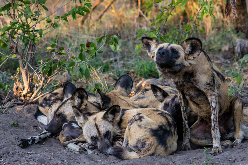 Animal Animal Themes Animal Wildlife Animals In The Wild Day Mammal Nature No People Outdoors Painted Dog Safari Animals Wild Wild Dog Wild Dogs Wildlife Young Animal The Great Outdoors - 2017 EyeEm Awards