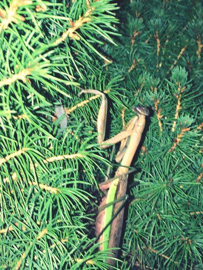 PhotosByMickJerzii ByMickJerziiCollection Close-up Praying Mantis Green Color No People Tree Nature Abugslife Bugslife Flying Insects Prayingmantis