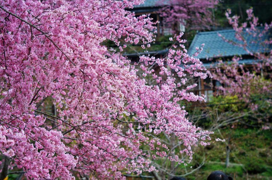 臺灣 恩愛農場 Sky Day Taiwan Flower Nature Fragility Freshness Growth Purple Wisteria Tree Beauty In Nature No People Pink Color Outdoors Branch Lilac Vine