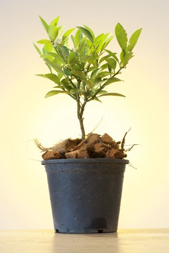 Bonzai Close-up Day Fragility Growth Indoors  Leaf Nature No People Orange Plant Plant Potted Plant White Background