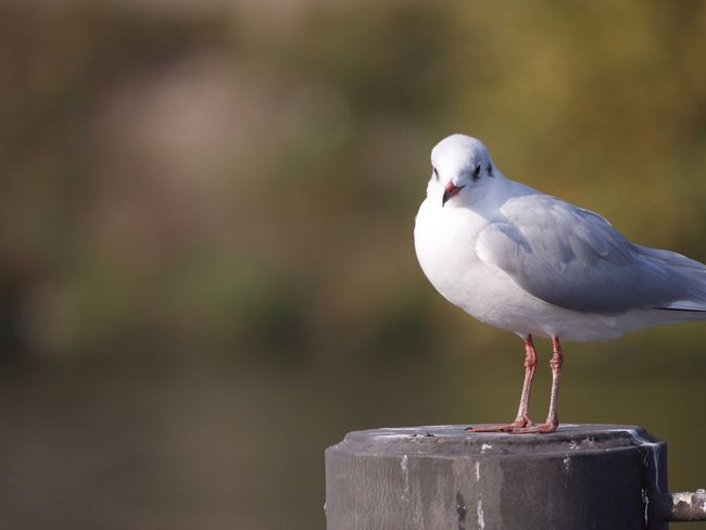 Animal Bird Vertebrate Animal Themes Animal Wildlife Focus On Foreground One Animal Animals In The Wild Perching Day Close-up Wood - Material No People Nature Post Seagull Outdoors Full Length Side View Wooden Post