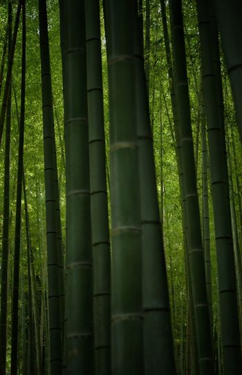 Green Morning Light Bamboo Grove Japan Spiritual Place Japan Photography EyeEm Gallery Green Bamboo - Plant Plant Bamboo Growth No People Bamboo Grove Green Color Tree Beauty In Nature Forest Tree Trunk Trunk Tranquility The Still Life Photographer - 2018 EyeEm Awards