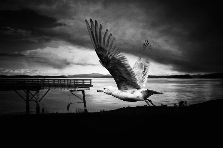Fly Away Pier Beauty In Nature Blackandwhite Photography Double Exposure Blackandwhite Bnw Black And White Nature Bird Spread Wings Bird Of Prey Flying Water Sea Seagull Vulture Sea Bird Flock Of Birds Animal Wing Damselfly Freshwater Bird Flapping The Great Outdoors - 2018 EyeEm Awards