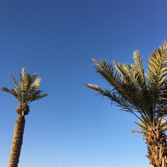 Palm Trees Dates Datestree Summer Summersky