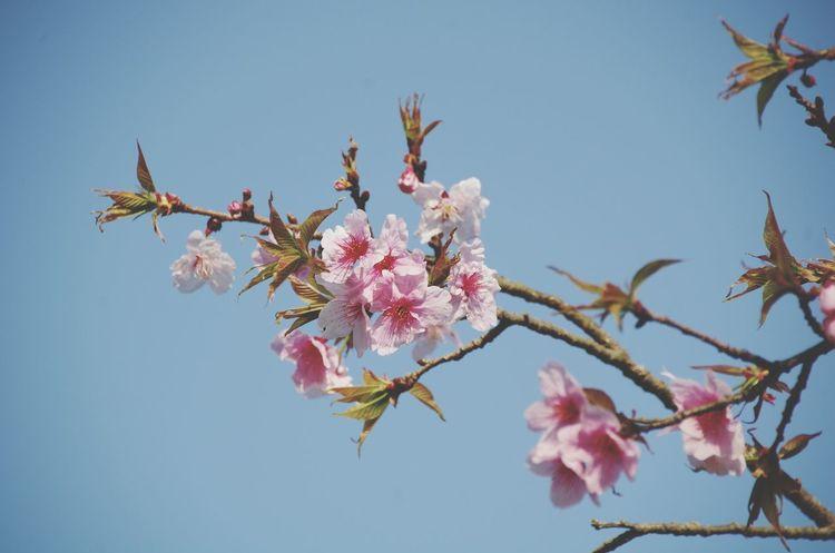 flower 桜