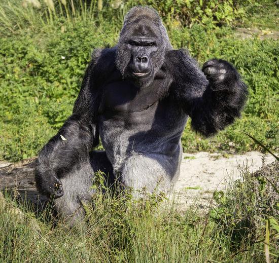 Primate Mammal Ape Gorilla Nature One Animal Outdoors Silverback Gorilla