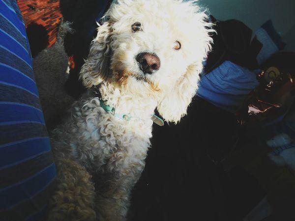 Hello wooorld 🙋 EyeEm Nature Lover Poodle Poodle Love Poodletoy Puppy Puppy Love EyeEm Best Shots Portrait Bff❤ Dog Pets