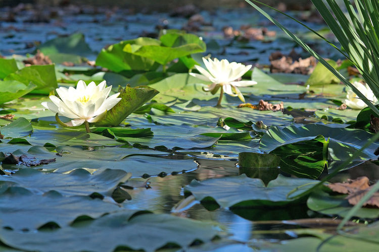 Beauty In Nature Close-up Floating Floating On Water Flower Flower Head Flowering Plant Freshness Growth Lake Leaf Leaves Lily Lotus Water Lily Nature No People Plant Plant Part Purity Vulnerability  Water Water Lily