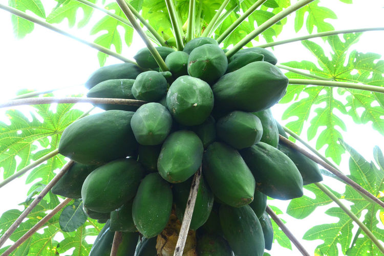 Low angle view of fruits growing on tree