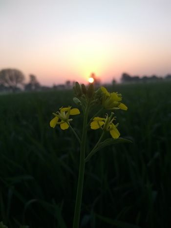 Flower Plant Growth Yellow Nature Fragility Freshness Sunset Uncultivated Petal Focus On Foreground Beauty In Nature Close-up No People Outdoors Wildflower Flower Head Field Rural Scene Sunlight