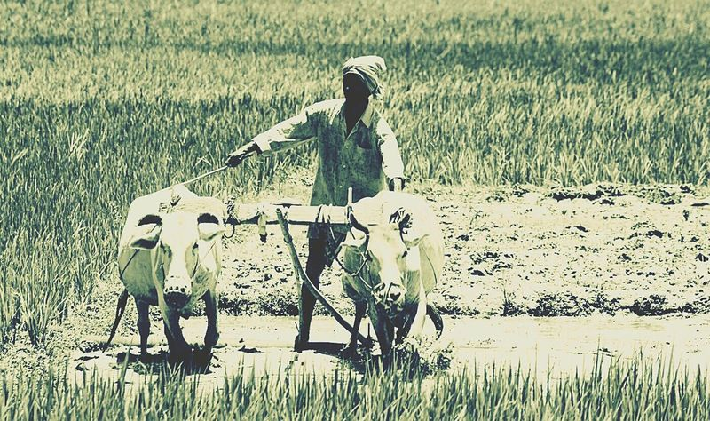 Rural Photography Mobile Photography Monsoon Season Cow Ploughing Rice Cultivation Assam, India