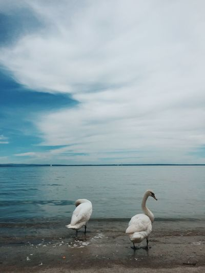 Swan Bird Animals In The Wild Water Balaton Lake Wildlife Animal Themes Sky Clouds Tranquility Horizon Over Water Two Animals Nature Non-urban Scene
