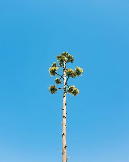Clear Sky Tree Sunny Palm Tree Outdoors Day Sky Blue Growth Low Angle View Nature No People Summer Beauty In Nature Rural Scene EyeEm Selects EyeEmNewHere Vacations Minimalistic Minimalist Minimalmood Minimalism Minimalobsession Minimal EyeEm Ready