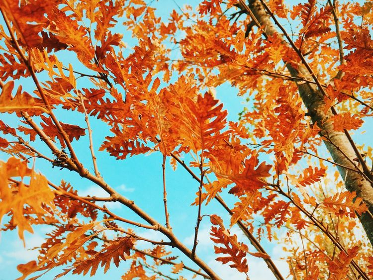 To be fall Autumn Tree Nature Change Orange Color Low Angle View Beauty In Nature Leaf Branch Maple Tree Outdoors Growth No People Day Sky Maple Leaf Close-up IPhoneography Vscogood Vscocam VSCO