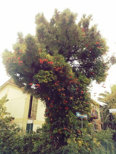 Вьюнок захватил дерево