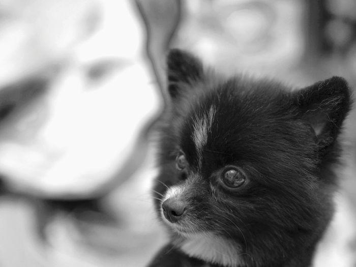 Pomeranian Pets Domestic Animals Dog Close-up Mammal Indoors  Pet Portraits