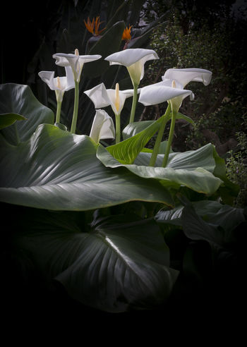 Group of calla lilies in light with large textured leaves, black vignette and copy space. Calla Lily Beauty In Nature Calla Close-up Day Flower Flower Head Fragility Freshness Growth Nature No People Outdoors Petal Plant White Color