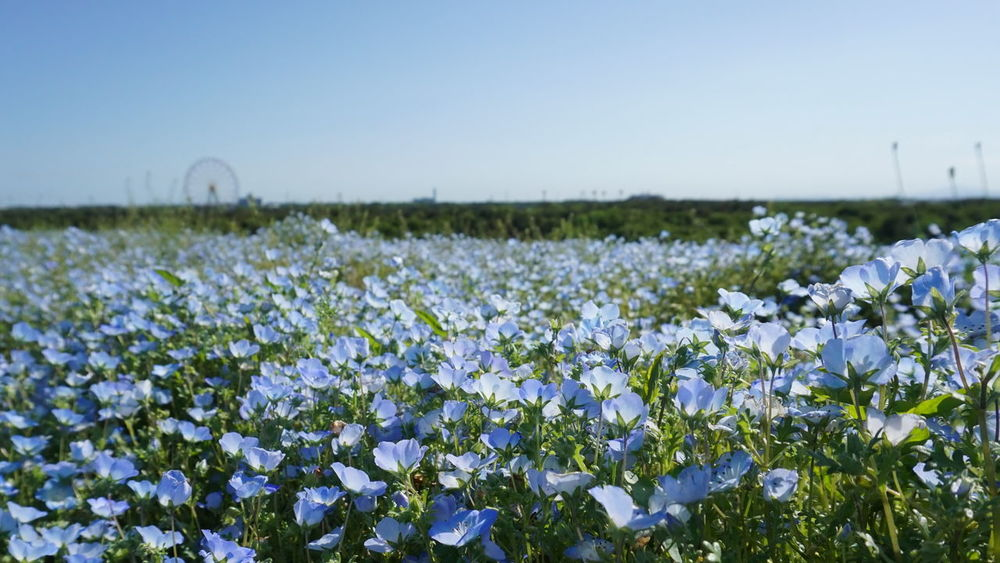 Beauty In Nature Blue Flowers Field Flower Sea Flowers Hitachi Hitachi Seaside Park Japan Nature Park My Year My View