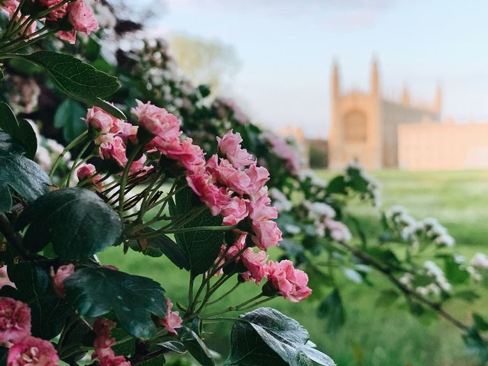 Cambridge in spring Flowers Bud Garden Photography Gothic Hogwarts King's College Blossom Trees Chapel Cambridge King's College, Cambridge King's College Calm Bokeh Photography Bokeh Plant Flowering Plant Flower Growth Beauty In Nature Nature Focus On Foreground Fragility Vulnerability  Plant Part Pink Color Flower Head Green Color Freshness No People