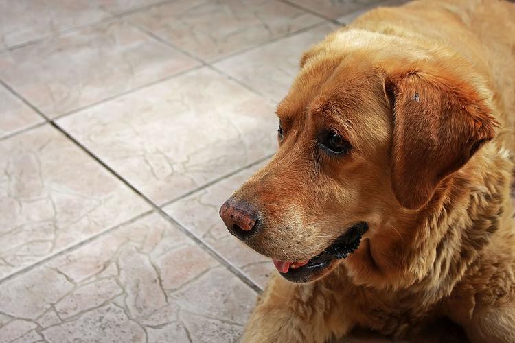 Lilly Animal Themes Dog Domestic Animals Labrador Labrador Retriever Old Pet Yellow