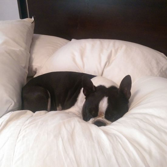 Pillows Relaxing I Love My Boston Terrier Cuddlebuddy