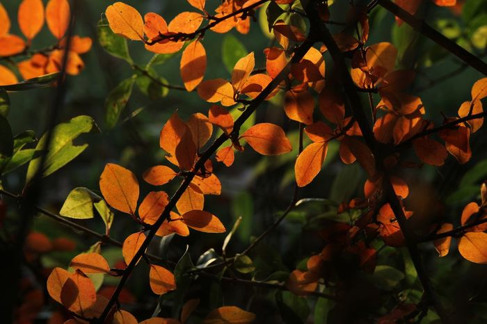 Colorful orange leaves in autumn lighted by the sun and dark branches Autumn Autumn Mood Autumn Vibe Beauty In Nature Branch Branches Close-up Day Freshness Green Background Growth Leaf Light And Shadow Lighted Nature No People Orange Orange Color Orange Leaf Orange Leaves Outdoors Silhouette Sunshine Tree Vibes
