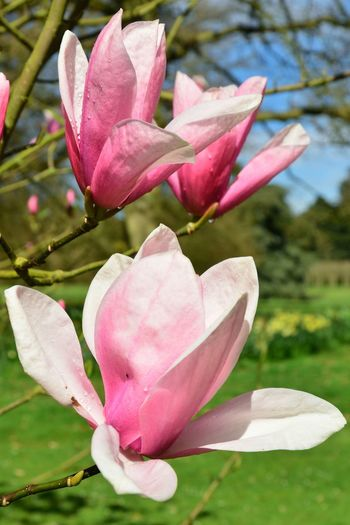 Pink Magnolia flowering in spring time Flowering Plant Flower Pink Color Beauty In Nature Fragility Petal Magnolia Spring Pink Close-up Flower Head Plant