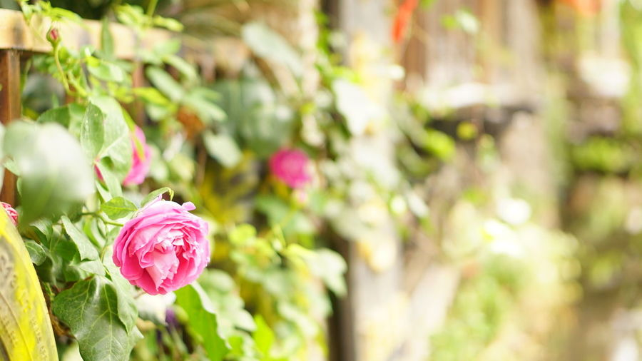 Old Town Square Lijiang Old Town Flower Head Flower Defocused Pink Color Petal Summer Springtime Close-up Plant Plant Life Wildflower In Bloom Blossom Single Rose Rose - Flower Flowering Plant