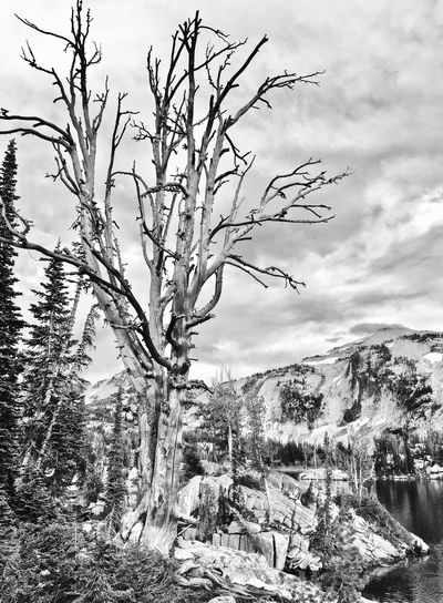 The silver branches of a skeletal tree defiantly stand against stormy skies. #EyeEmNewHere Ancient Trees Defiant High Country Old West  Thunderclouds Backcountry Bare Tree Beauty In Nature Black And White Blackandwhite Photography Landscape Nature Outdoors Scenics Sky Solitude Solitude And Silence Solitude. Strength Thunderstorm Tranquil Scene Tranquility Tree Western Scene
