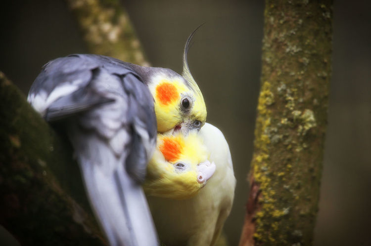 Animal Themes Animal Wildlife Animals In The Wild Beak Beauty In Nature Bird Close-up Cockatiel Day Eye4photography  EyeEm Nature Lover From My Point Of View Macaw Nature No People Nymphensittich Nymphensittiche One Animal Outdoors Parrot Perching Quarrion Weiro Weltblick