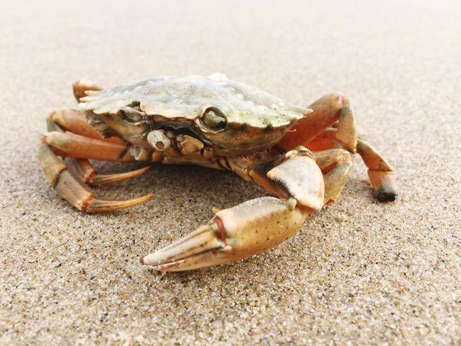 Crab Beachphotography Beach Sand Animal