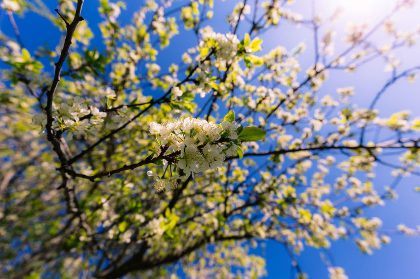 Beauty In Nature Blossom Blue Branch Clear Sky Close-up Day Flower Flower Head Fragility Freshness Growth Low Angle View Nature No People Outdoors Selective Focus Sky Springtime Tree