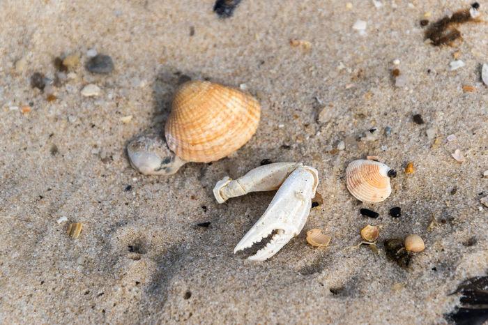 Sylt, Germany Beach Close-up Day Hermit Crab Nature No People Outdoors Sand Sea Sea Life Seashell Tong