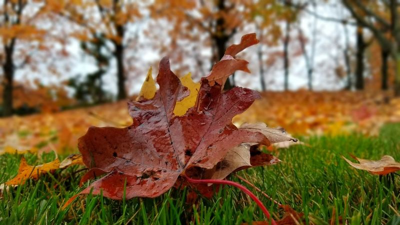 Autumn Leaf Change Nature Dry Grass Field Day Outdoors Focus On Foreground Beauty In Nature No People Maple Leaf Red Close-up Fragility Maple Travel Destinations Fall Beauty Newjersy Fallen Low Angle View Sky Growth Bare Tree