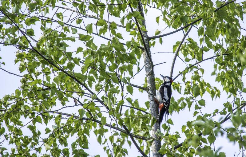 Animal Themes Animal Wildlife Animals In The Wild Beauty In Nature Birch Bird Climbing Climbing-up Garden Pics Nature No People One Animal Woodpecker The Great Outdoors - 2017 EyeEm Awards