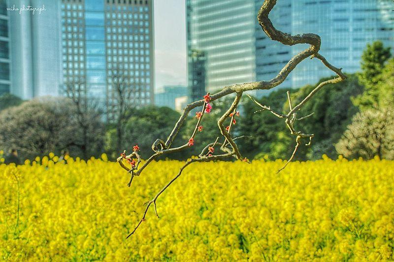 都会のオアシス。 あなたと見隊 想い出の場所 Flower 菜の花 枝萌え 梅