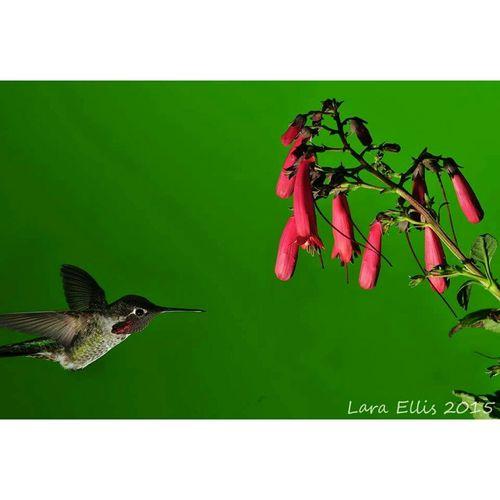 Hummingbird Nikon Penstemon
