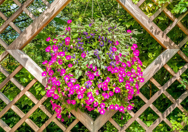 Purple flowers in the wooden frame background, garden decoration. Flowering Plant Flower Plant Freshness Beauty In Nature Nature Day No People Close-up Pink Color Outdoors Purple Wood - Material Green Color Inflorescence Petal Backgrounds Wooden Frame Decoration Garden Summertime Salvia Flowers