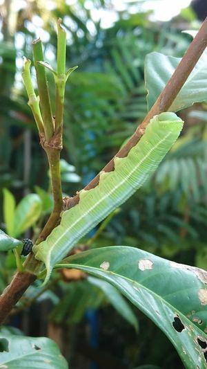 Green worm
