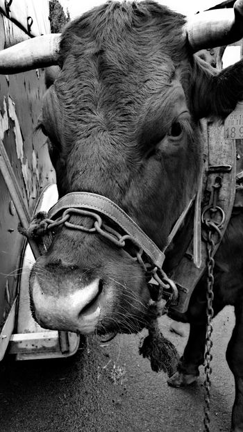 warten ... waiting :-) Cow Kuh Animal Animal Photography Tier Tierfotografie Tiere/Animals Black And White Photography Schwarzweißfotografie Schwarzweiß Black And White Blanco Y Negro Vaca Cowlover Hello World Taking Photos EyeEm EyeEM Photos EyeEm Animal Lover The Week On Eyem Check This Out Beliebte Fotos Eyeemphotography EyeEm Gallery Pet Portraits EyeEmNewHere Be. Ready. Black And White Friday