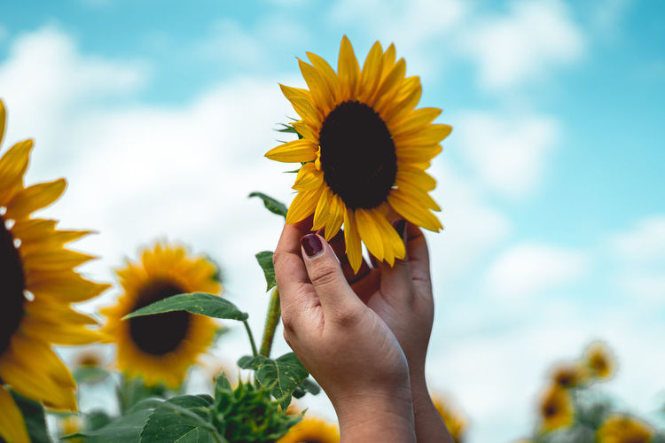Low angle view of hand holding sunflower against sky