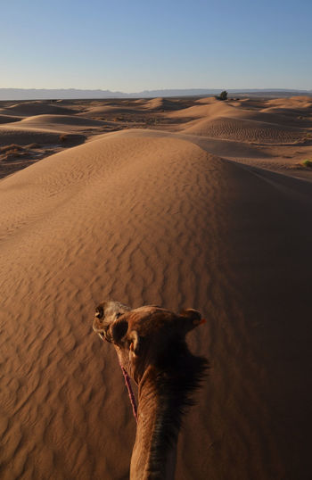 High Angle View Of Camel In Desert