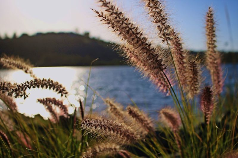 Cattail Cattails Close-up Focus On Foreground Lake Lake Plants Lakeside Nature Non-urban Scene Phragmites Reed Reed - Grass Family Reeds Swamp Grass Tall Grass Tranquil Scene Tranquility Uncultivated Wheat Grass Wildflower