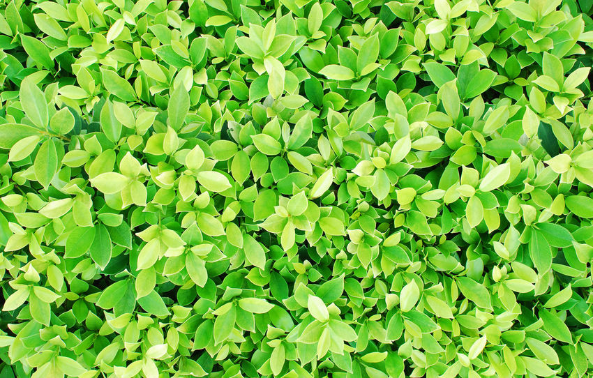 Green Color Tree Backgrounds Bush Close-up Freshness Full Frame Green Color Growth Large Group Of Objects Leaf Nature Outdoors Plant Wallpaper