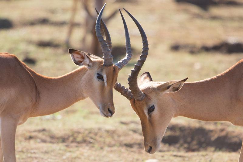 Fighting impala males, aepyceros melampus, kruger park, south africa