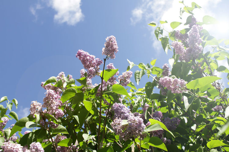 Lilac and
