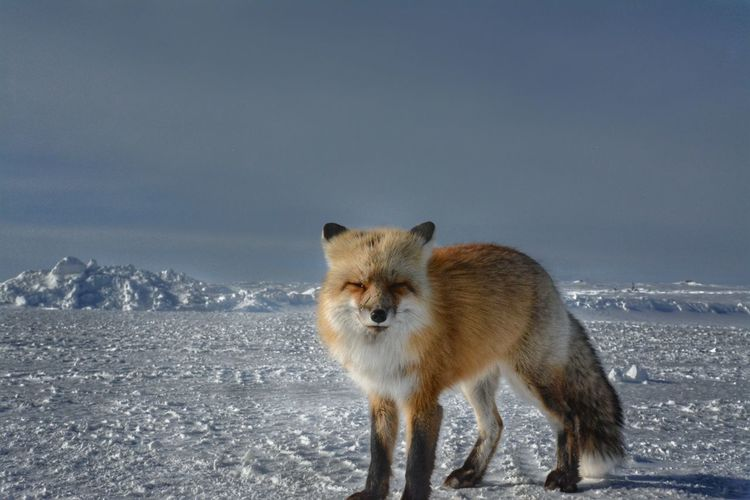 Animal Themes Animal Wildlife Animals In The Wild Beauty In Nature Cold Temperature Cute Day Fluffy Fox Full Length Looking At Camera Mammal Nature No People One Animal Outdoors Portrait Sky Snow Standing Winter